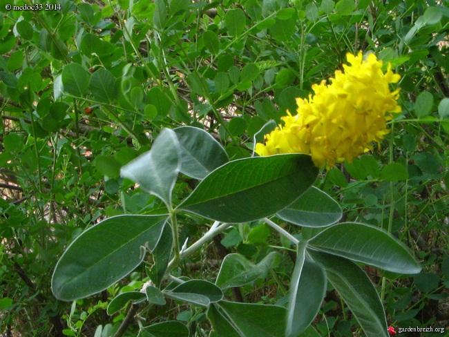 Argyrocytisus battandieri (= Cytisus battandieri) - genêt ananas GBPIX_photo_638340