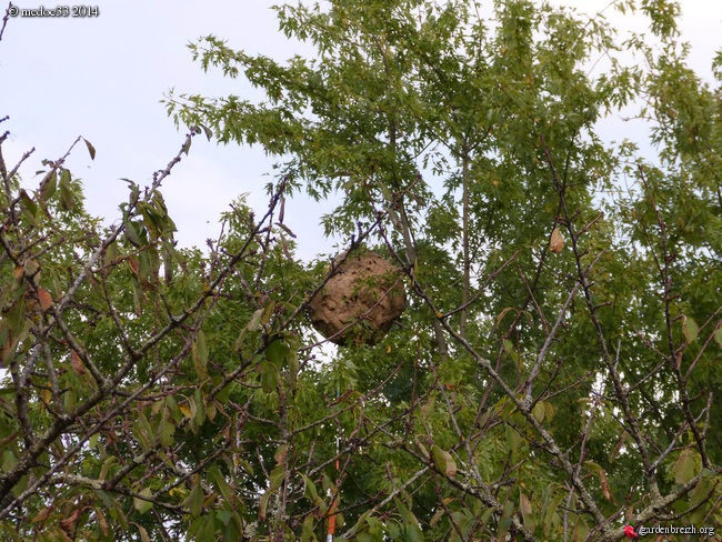Vespa velutina  - frelon asiatique GBPIX_photo_638358