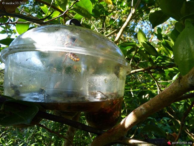 Vespa velutina  - frelon asiatique GBPIX_photo_638650