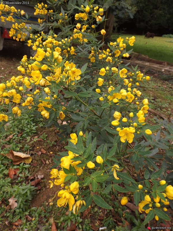 Senna floribunda et Senna corymbosa (= Cassia) GBPIX_photo_642141