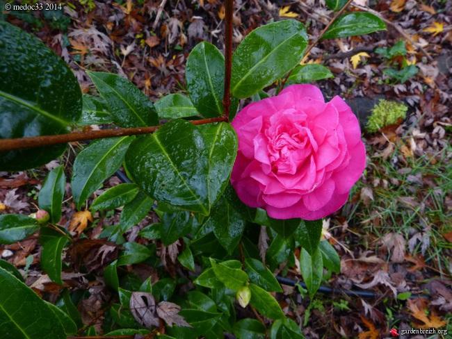 Camellia au fil des saisons - Page 2 GBPIX_photo_642672