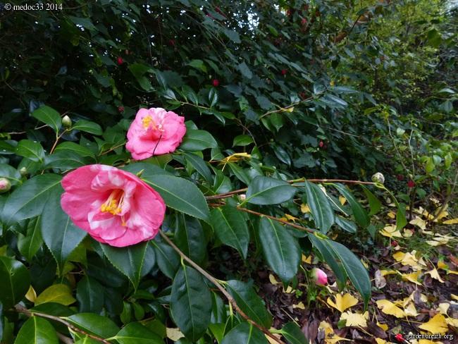 derniers flamboiements  au jardin  - Page 5 GBPIX_photo_645568