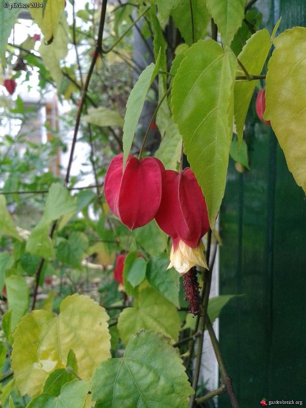 derniers flamboiements  au jardin  - Page 5 GBPIX_photo_645771