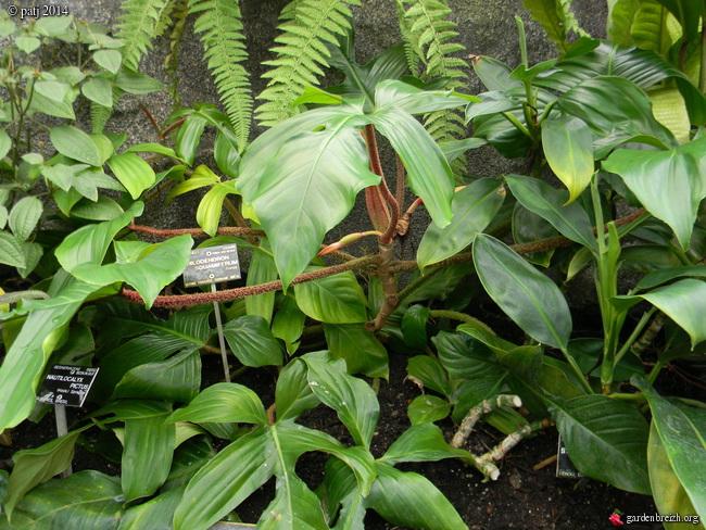 Philodendron squamiferum GBPIX_photo_645838