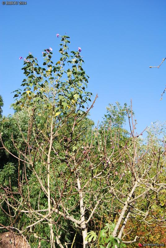 Fremontodendron californicum - Page 2 GBPIX_photo_645923