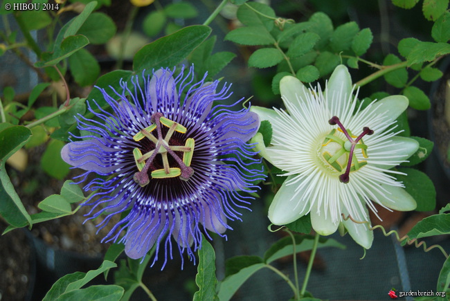Passiflora 'Purple Haze' GBPIX_photo_646074