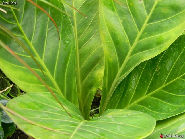 Anthurium bonplandii ssp guyanum  GBPIX_photo_646825