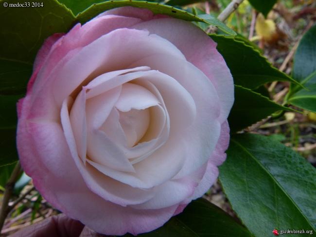 Camellia au fil des saisons - Page 2 GBPIX_photo_647298