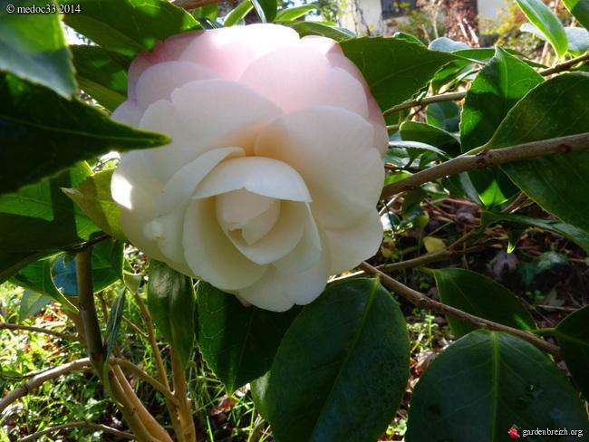 Camellia au fil des saisons - Page 2 GBPIX_photo_647975