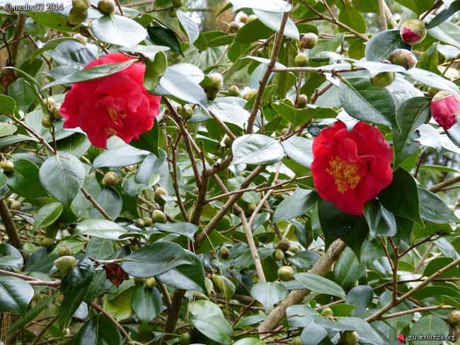 Camellia au fil des saisons - Page 2 GBPIX_photo_648235