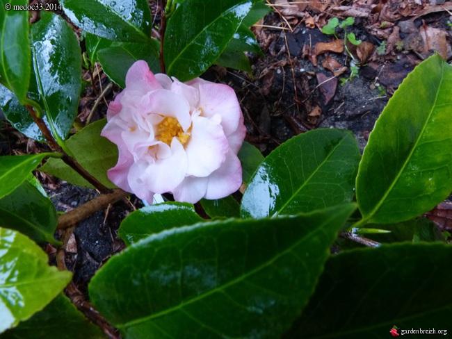 Camellia au fil des saisons - Page 2 GBPIX_photo_648330