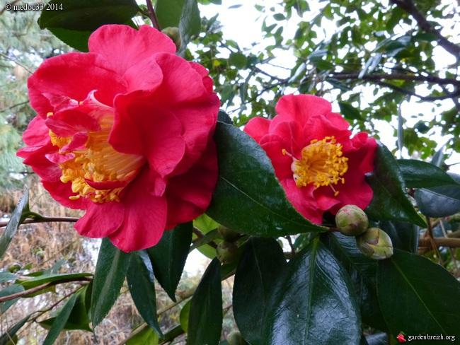 Camellia - floraisons d'automne - Page 3 GBPIX_photo_648620