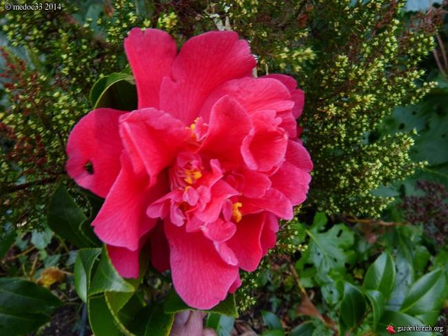 Camellia - floraisons d'automne - Page 3 GBPIX_photo_648655