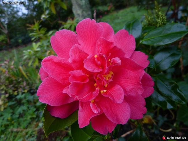 Camellia - floraisons d'automne - Page 3 GBPIX_photo_648658