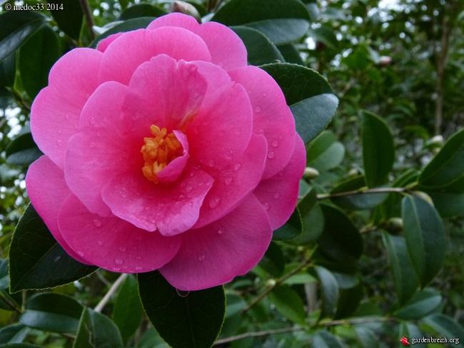 Camellia hybrides GBPIX_photo_649958
