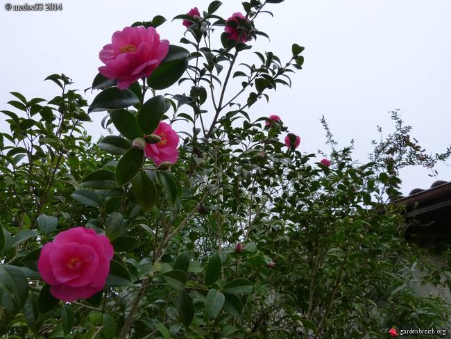 Camellia hybrides GBPIX_photo_649960