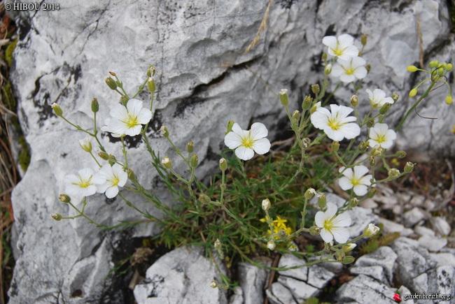 Crassula 'Leila', Minuartia, Carlina vulgaris [id. non terminée] GBPIX_photo_650213