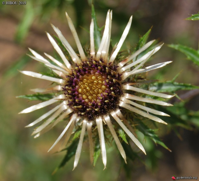 Crassula 'Leila', Minuartia, Carlina vulgaris [id. non terminée] GBPIX_photo_651105