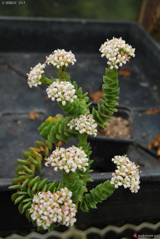 Crassula 'Leila', Minuartia, Carlina vulgaris [id. non terminée] GBPIX_photo_651652