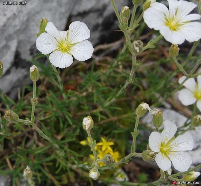 Crassula 'Leila', Minuartia, Carlina vulgaris [id. non terminée] - Page 2 GBPIX_photo_651876