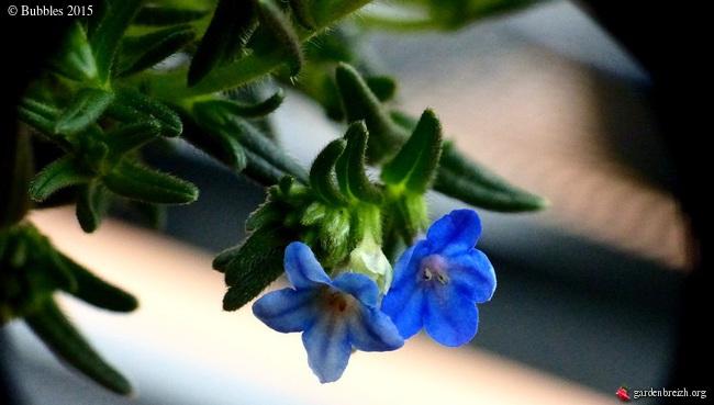 Lithodora diffusa 'Heavenly Blue' [identification] GBPIX_photo_659523