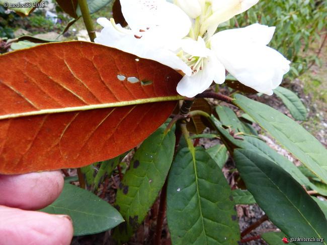 Rhododendron - espèces, variétés, floraisons - Page 4 GBPIX_photo_662134