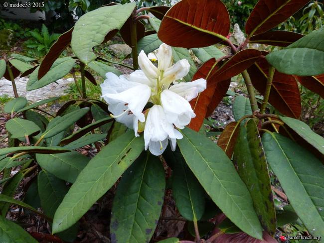 Rhododendron - espèces, variétés, floraisons - Page 4 GBPIX_photo_662135