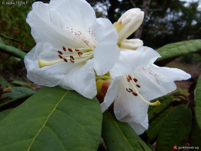 Rhododendron - espèces, variétés, floraisons - Page 4 GBPIX_photo_662137