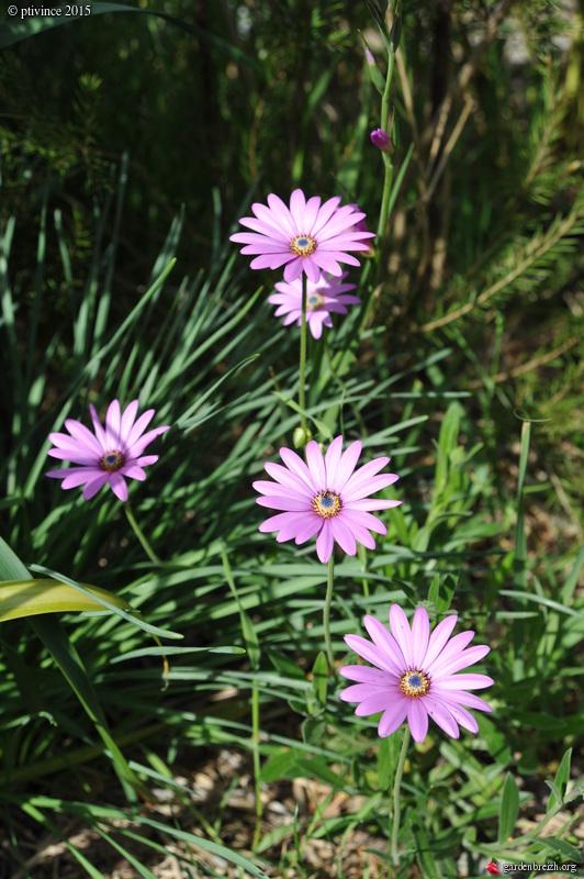 le joli mois de mai des fous jardiniers - Page 4 GBPIX_photo_668553
