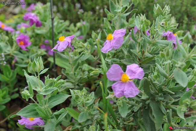 le joli mois de mai des fous jardiniers - Page 5 GBPIX_photo_669396