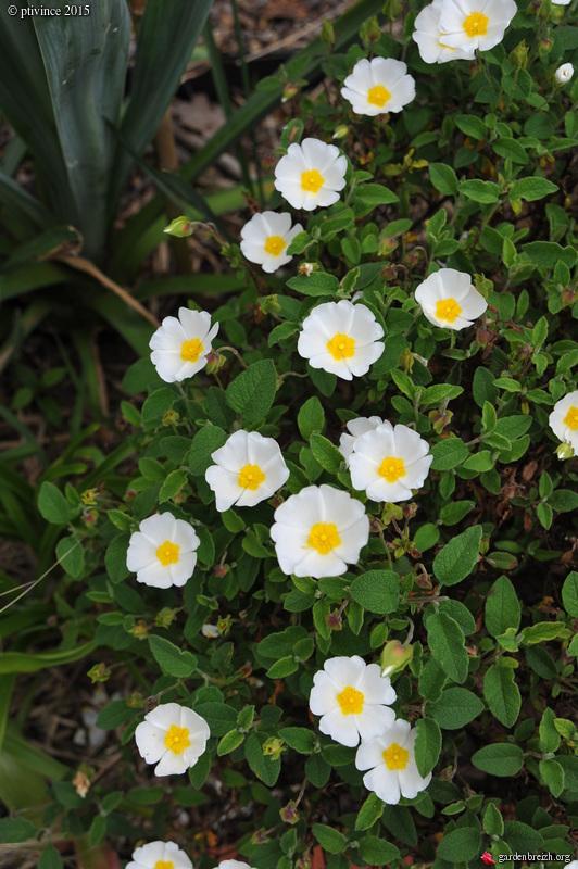 le joli mois de mai des fous jardiniers - Page 5 GBPIX_photo_669403
