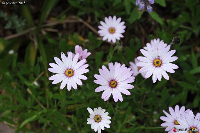 le joli mois de mai des fous jardiniers - Page 5 GBPIX_photo_669411