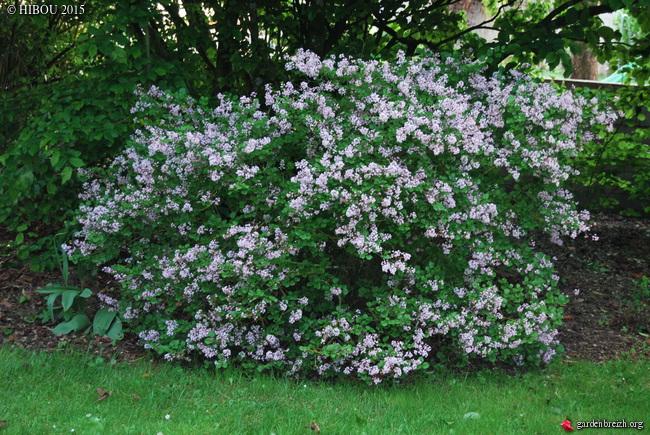 Syringa pubescens 'Palibin' GBPIX_photo_670056