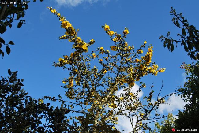 Fremontodendron californicum - Page 2 GBPIX_photo_670067