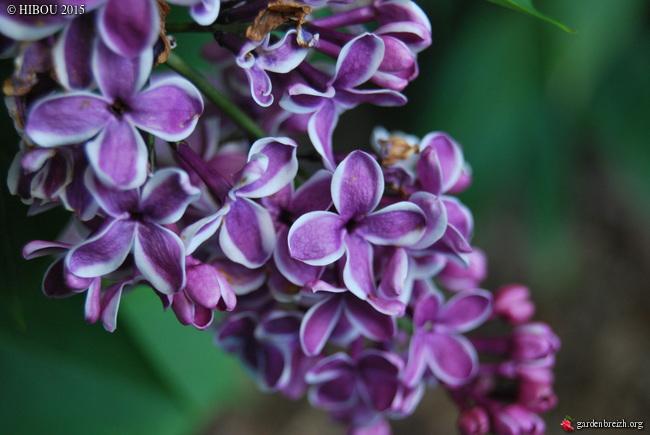 Syringa vulgaris - lilas commun GBPIX_photo_670080