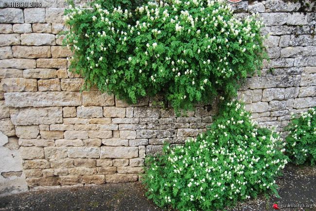 Pseudofumaria alba subsp. acaulis  (= Corydalis ochroleuca) GBPIX_photo_671210