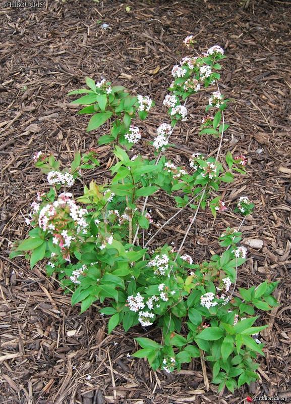 Abelia mosanensis GBPIX_photo_672134