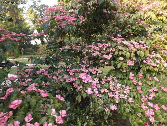 Cornus florida - cornouiller à fleurs  - Page 2 GBPIX_photo_674965