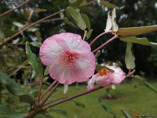 Phylica arborea, Iochroma australe, Eucryphia lucida 'Pink Cloud', Centradenia floribunda, Phygelius capensis [devinette] GBPIX_photo_679121