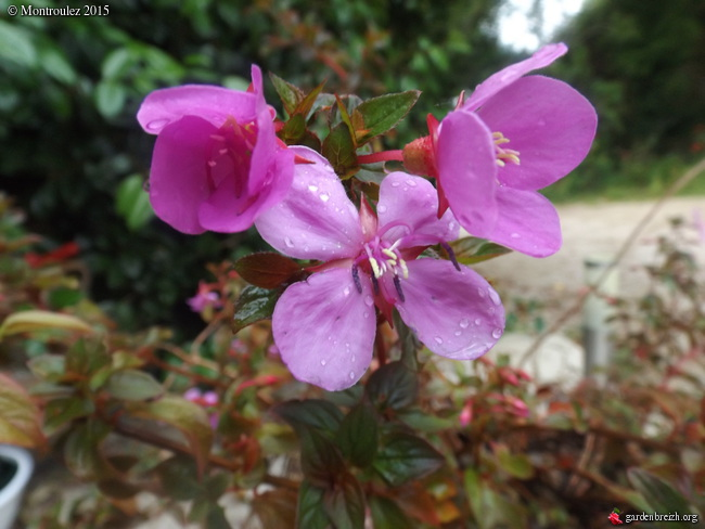 Phylica arborea, Iochroma australe, Eucryphia lucida 'Pink Cloud', Centradenia floribunda, Phygelius capensis [devinette] GBPIX_photo_679133