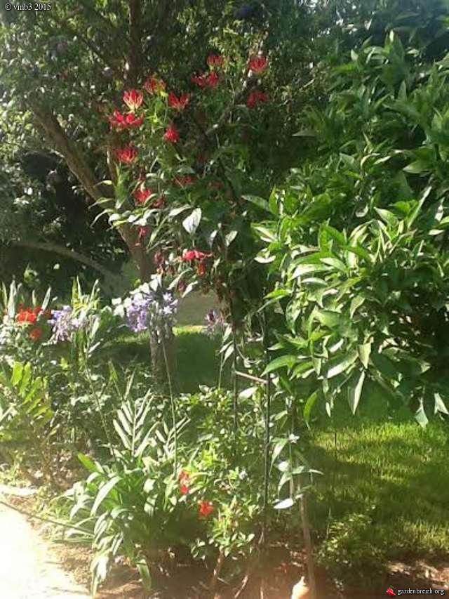 gloriosa superbe ou lis de malabar : Mauvaise identifiaction GBPIX_photo_681347