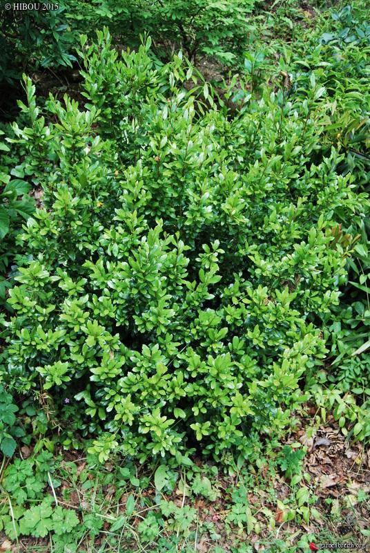 Ilex ? Cyclobalanopsis ? et Pittosporum dallii [id. non terminées] GBPIX_photo_682603