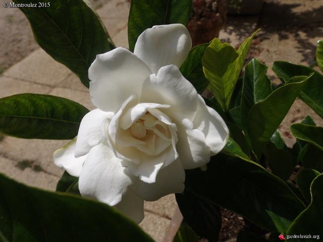 Gardenia rustiques GBPIX_photo_682945