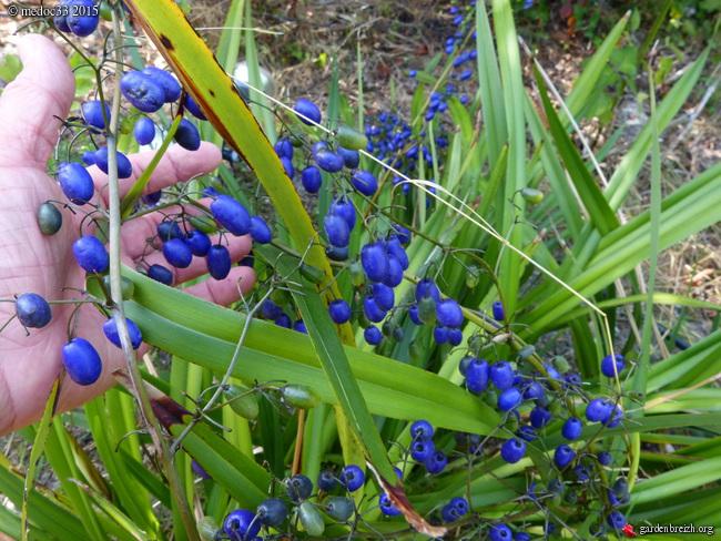 butinages du jour à l'ombre de nos plantes  - Page 3 GBPIX_photo_683805