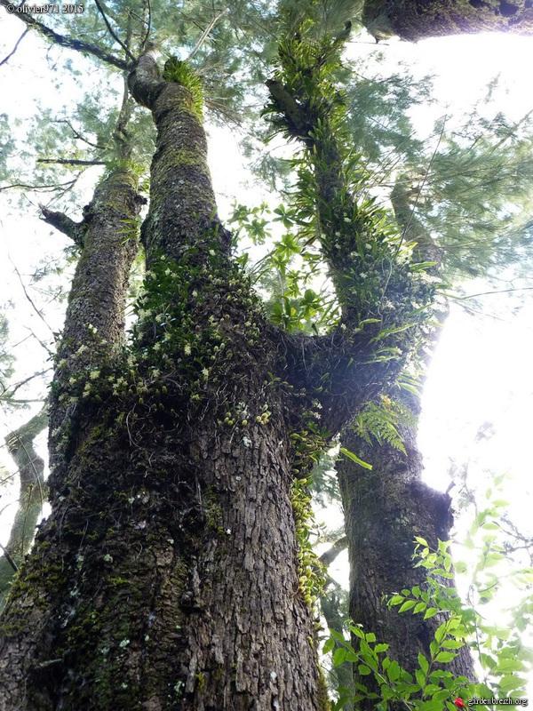 Bulbophyllum nutans GBPIX_photo_684108