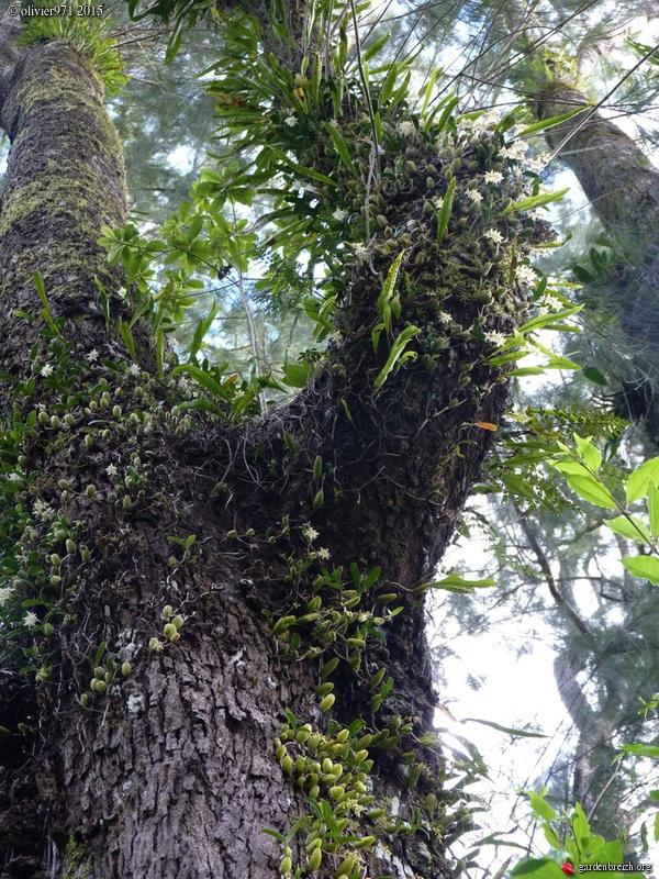 Bulbophyllum nutans GBPIX_photo_684110