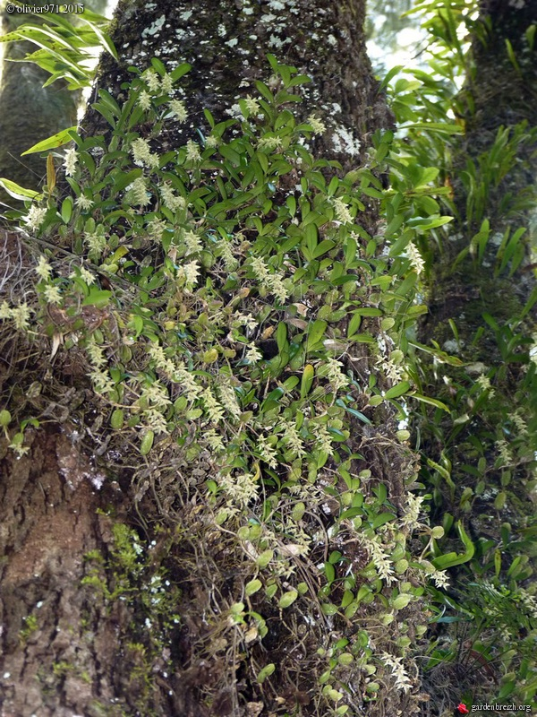 Bulbophyllum nutans GBPIX_photo_684112