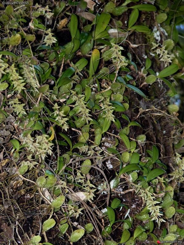 Bulbophyllum nutans GBPIX_photo_684113