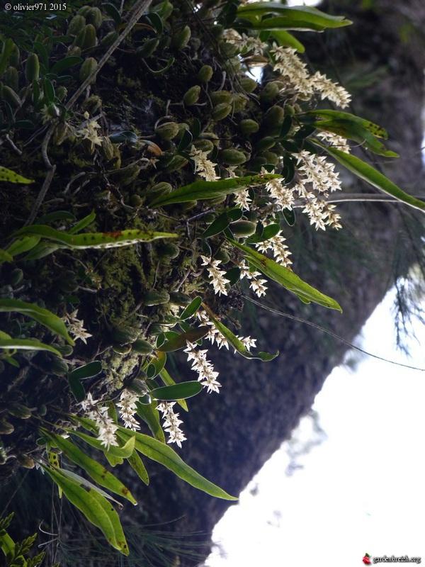 Bulbophyllum nutans GBPIX_photo_684114