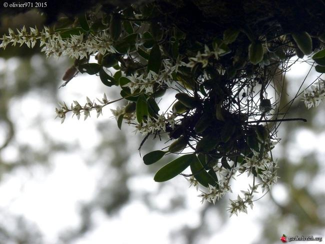 Bulbophyllum nutans GBPIX_photo_684115